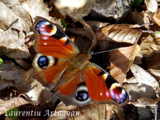 Fluture ochi de paun de zi