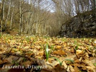 Ghiocei Valea Buhui