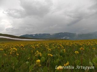 Covor de flori Muntii Godeanu