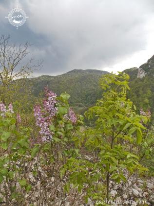 Liliac salbatic Cheile Carasului