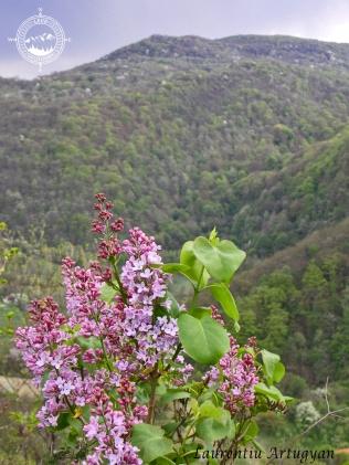 Liliac salbatic in Cheile Carasului