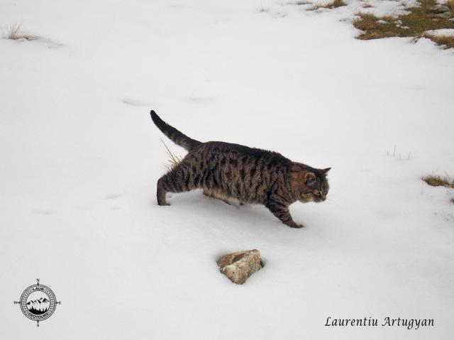 Pisica de la Statia meteo Tarcu